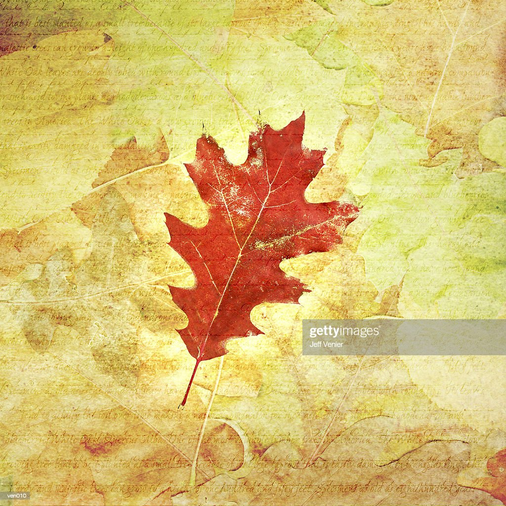 Black Oak Leaf : Stock Illustration