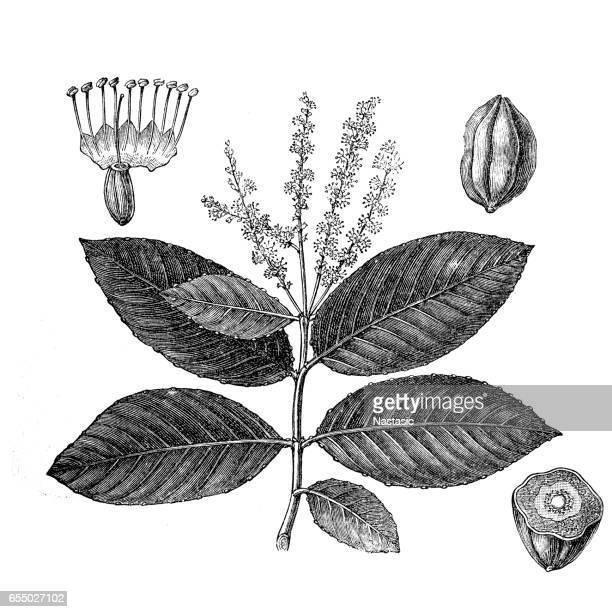 illustrazioni stock, clip art, cartoni animati e icone di tendenza di myrobalan nero o chebulico (terminalia chebula) - emorroidi