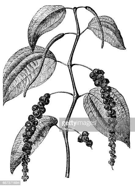 ilustrações de stock, clip art, desenhos animados e ícones de black pepper (piper nigrum) - pimenta