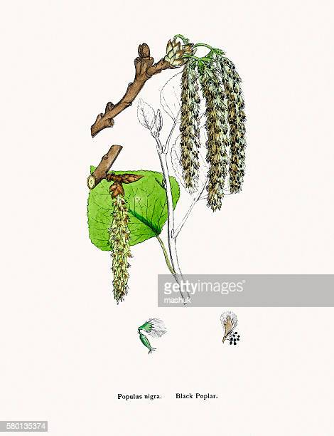 black poplar flower and leaves - {{relatedsearchurl('racing')}} stock illustrations, clip art, cartoons, & icons