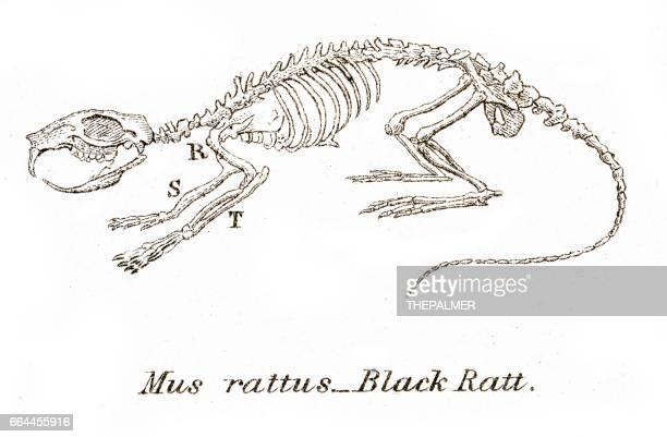 Black rat skeleton engraving 1803