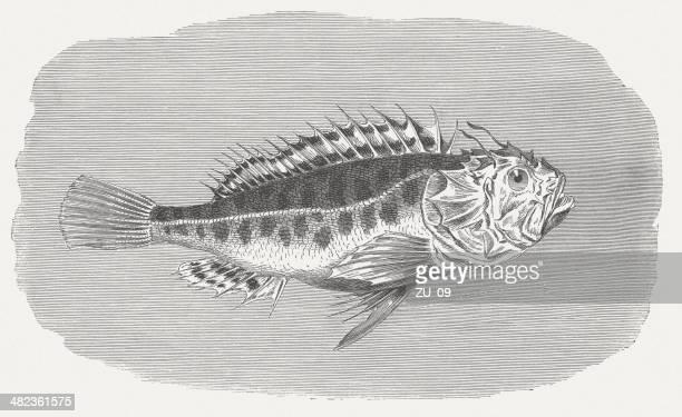 ilustraciones, imágenes clip art, dibujos animados e iconos de stock de rascacio negro - animal vertebrado