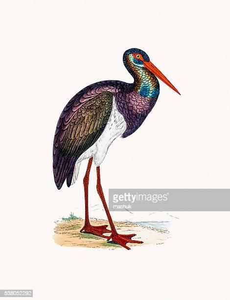 black stork bird - zoology stock illustrations