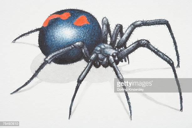 World S Best Black Widow Spider Stock Illustrations Getty