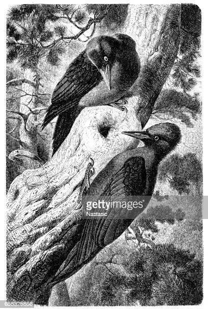 ilustrações, clipart, desenhos animados e ícones de pica-pau negro (dryocopus martius) - zoologia
