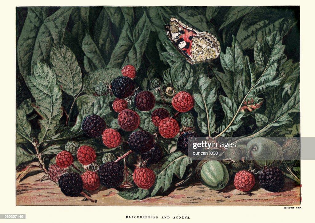 Blackberries and acorns : stock illustration