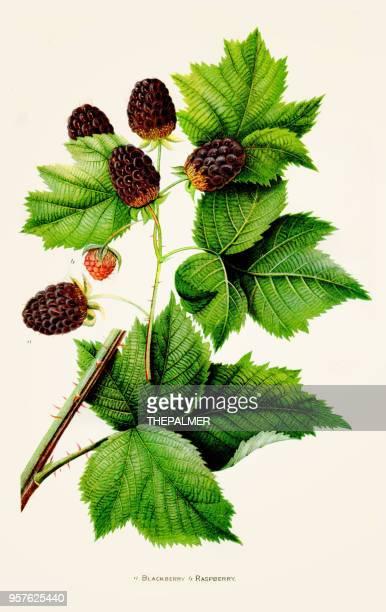 blackberry raspberry illustration 1892 - blackberry fruit stock illustrations