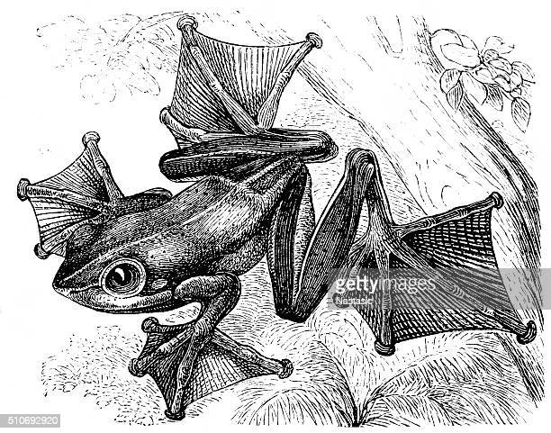 black-webbed tree frog (rhacophorus reinwardtii) - webbed foot stock illustrations, clip art, cartoons, & icons