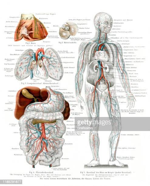 人体の血液循環心血管系 1896年 - human digestive system点のイラスト素材/クリップアート素材/マンガ素材/アイコン素材