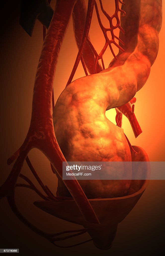 Blood Supply Of The Anal Canal Stock-Illustration | Getty Images