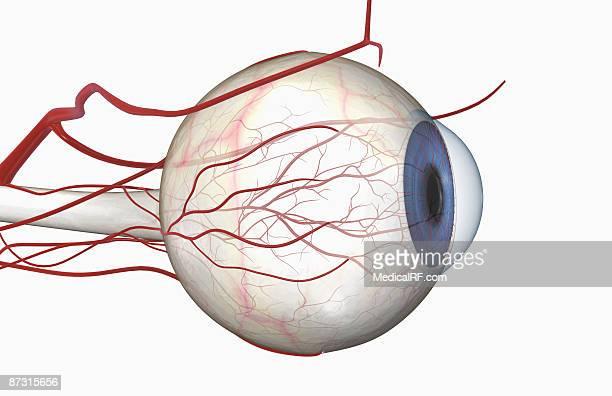 illustrations, cliparts, dessins animés et icônes de blood vessels of the eye - images