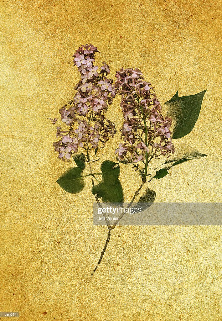 Blooming Lilac : Stockillustraties