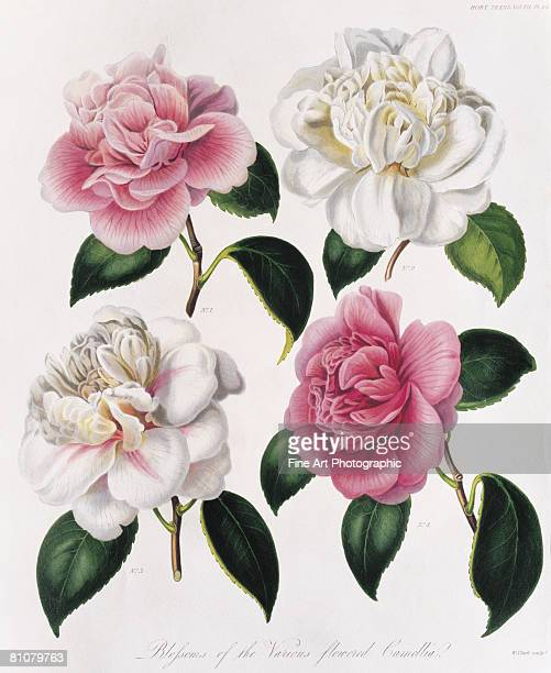 blooms of various flowered camellia - four objects stock illustrations