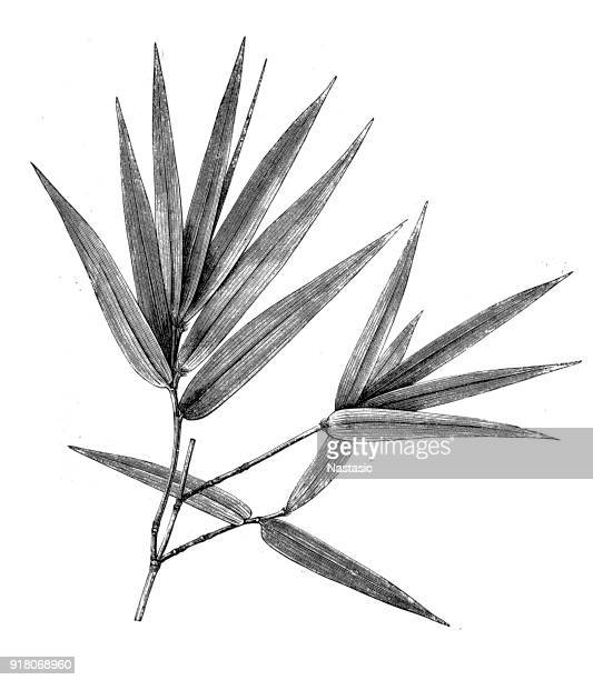 blossomed twigs from bamboos - engraving stock illustrations, clip art, cartoons, & icons