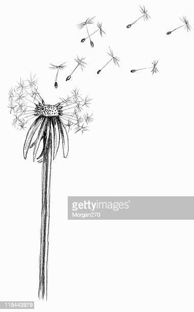 blown dandelion sketch - model organism stock illustrations