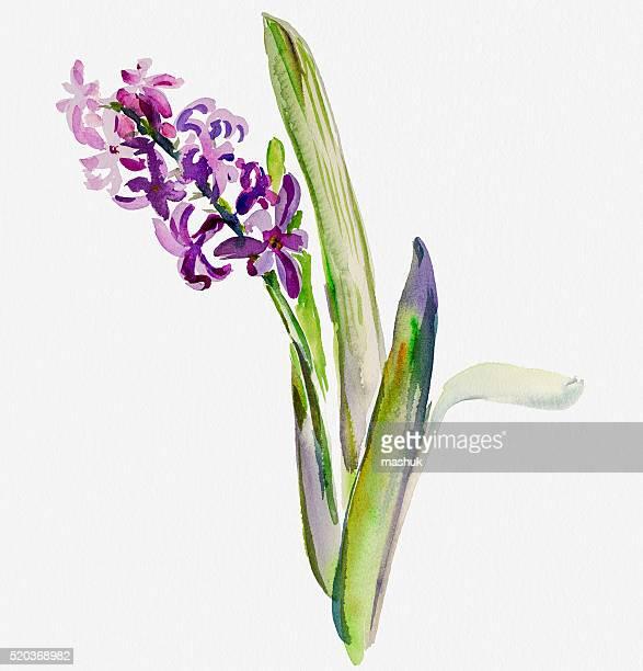 blue hyacinth watercolor painting - hyacinth stock illustrations
