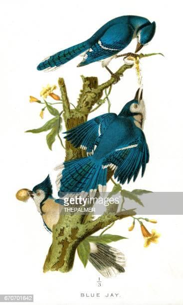 Blue Jay bird lithograph 1897