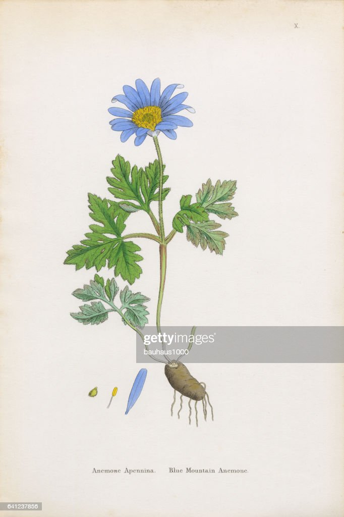 Blue Mountain Anemone, Anemone, Anemone Apennina, Victorian Botanical Illustration, 1863 : stock illustration