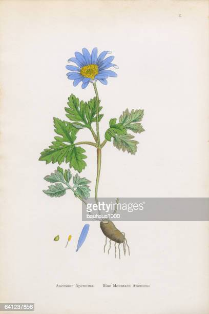 blue mountain anemone, anemone, anemone apennina, victorian botanical illustration, 1863 - ranunculus stock illustrations, clip art, cartoons, & icons