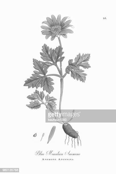 blue mountain anemone, anemone, anemone apennina, victorian botanical illustration, 1863 - anemone apennina stock illustrations, clip art, cartoons, & icons