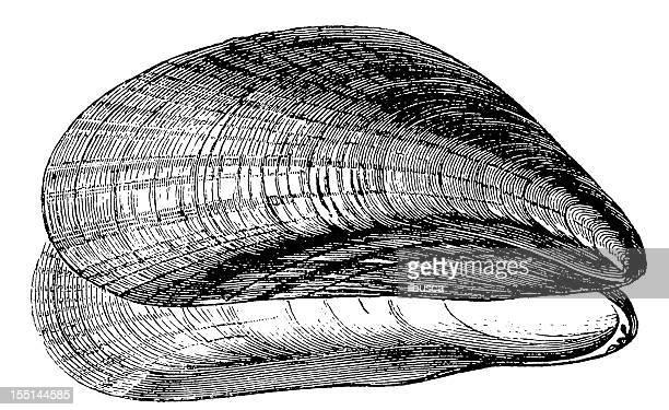 Ilustraciones de Stock y dibujos de Mejillón | Getty Images