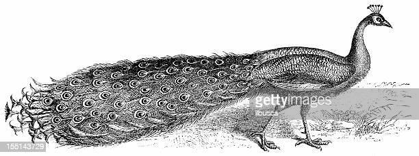 ilustraciones, imágenes clip art, dibujos animados e iconos de stock de azul peafowl (pavo cristatus - iguana