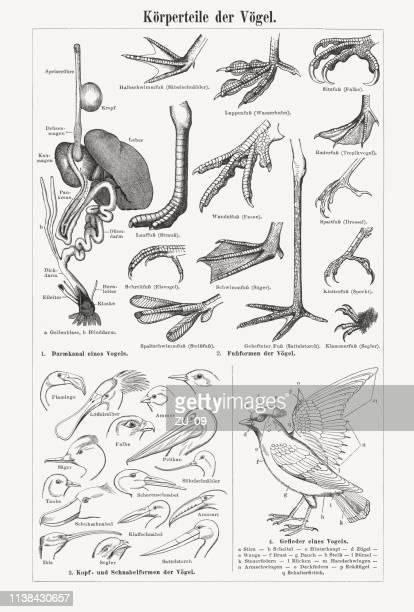 körperteile von vögeln, holzgravur, erschienen 1897 - gliedmaßen körperteile stock-grafiken, -clipart, -cartoons und -symbole