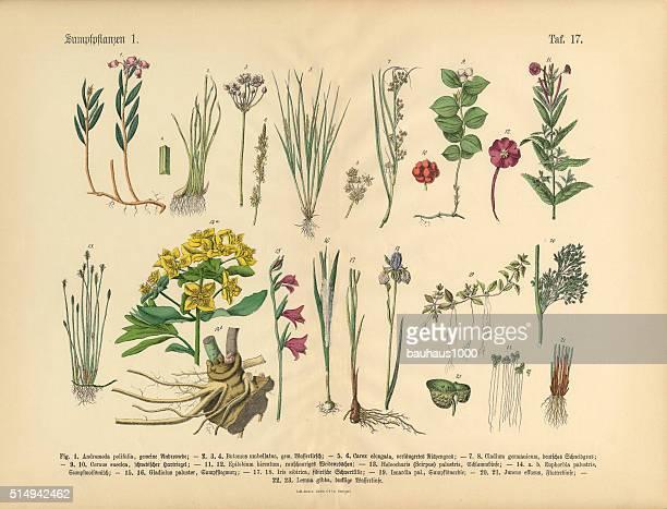沼地の植物、花、植物、水、ビクトリアの植物イラストレーション - 19世紀点のイラスト素材/クリップアート素材/マンガ素材/アイコン素材