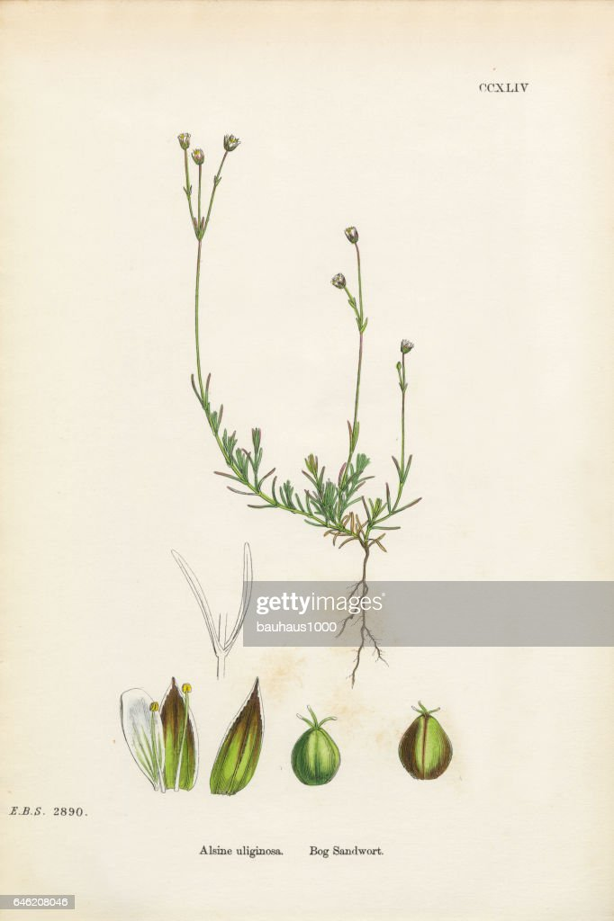 Bog Sandwort, Alsine Ulifinoas, Victorian Botanical Illustration, 1863 : stock illustration