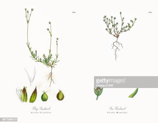 bog sandwort, alsine ulifinoas, victorian botanical illustration, 1863 - sandwort stock illustrations, clip art, cartoons, & icons
