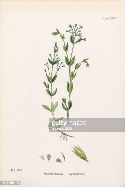 ilustrações, clipart, desenhos animados e ícones de atolar stitchwort, stellaria uliginosa, ilustração botânica vitoriana, 1863 - chickweed