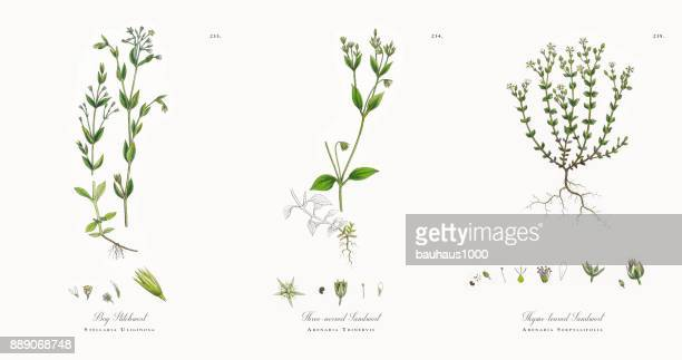 bog stitchwort, stellaria uliginosa, victorian botanical illustration, 1863 - plant bulb stock illustrations