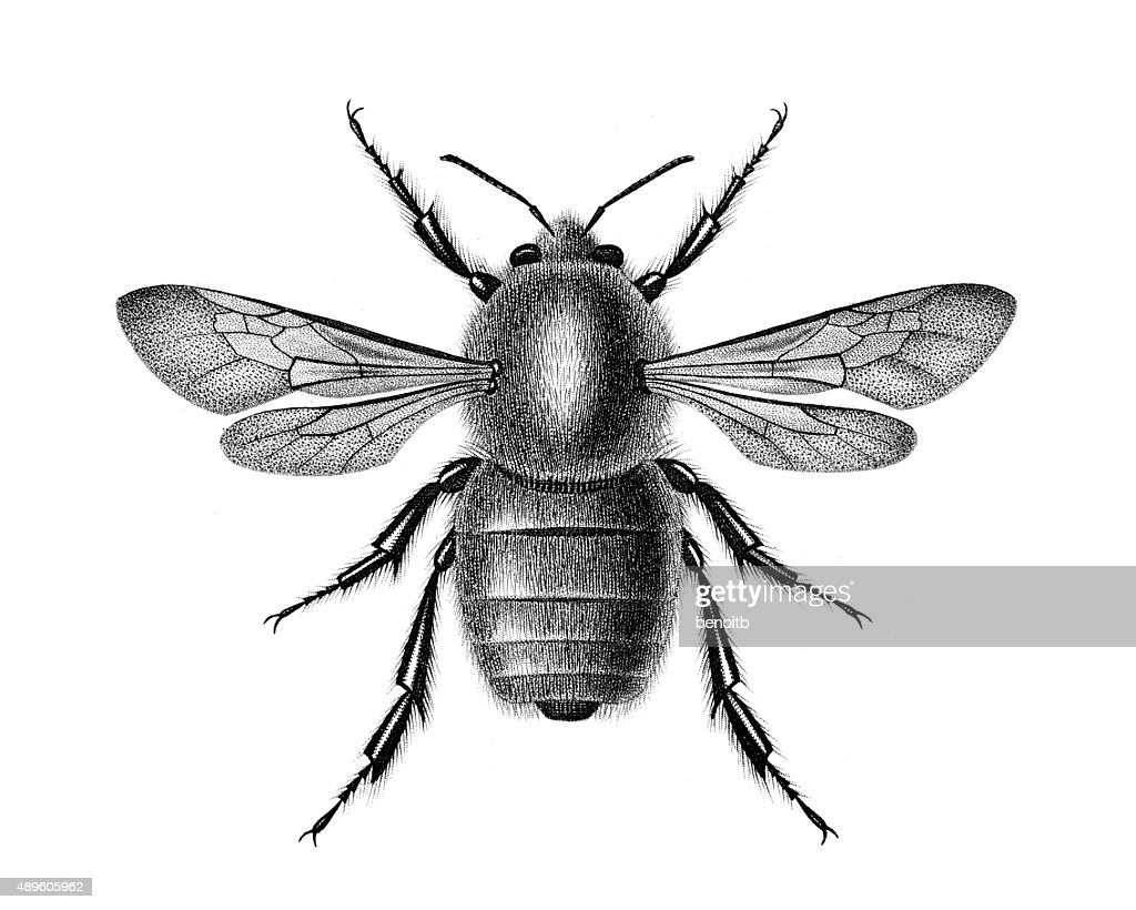 Bombus Dahlbomii : stock illustration