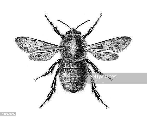 bombus dahlbomii - bumblebee stock illustrations, clip art, cartoons, & icons