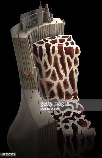 bone internal structure - marrom stock illustrations