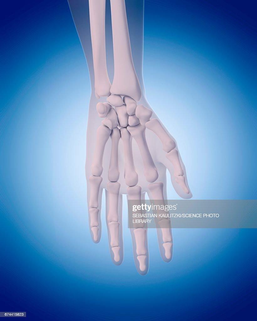 Bones Of Hand Stock Illustration Getty Images