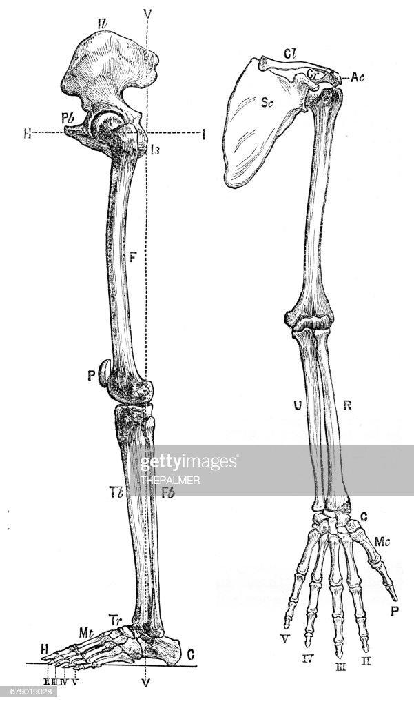 Bones Of The Arm Anatomy Engraving 1878 Stock Illustration Getty