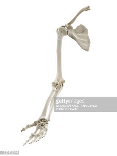 bones of the arm, illustration - human skeleton stock illustrations