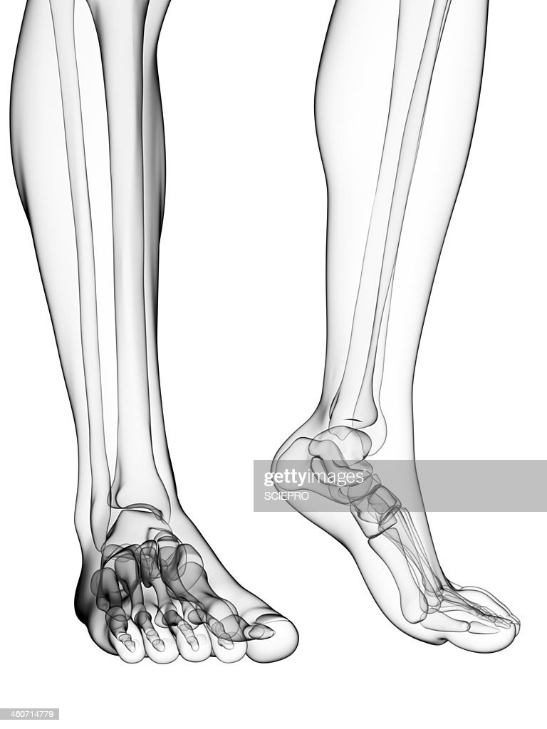 Bones Of The Feet Artwork Stock Illustration | Getty Images