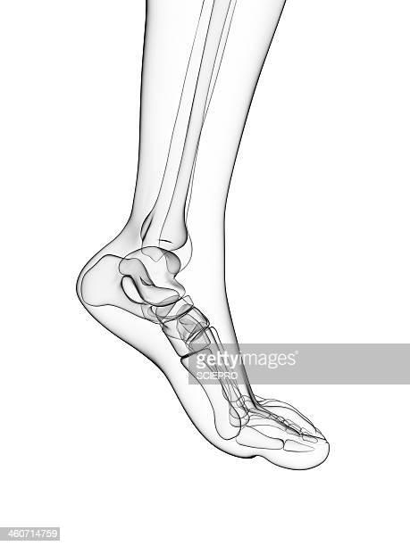 ilustraciones, imágenes clip art, dibujos animados e iconos de stock de bones of the foot, artwork - hueso de la pierna