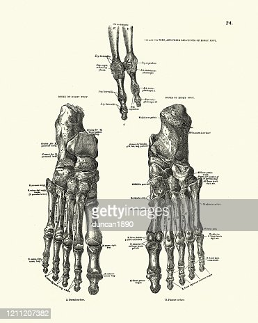 Bones Of The Human Foot And Toes Victorian Anatomical Drawing High Res Vector Graphic Getty Images