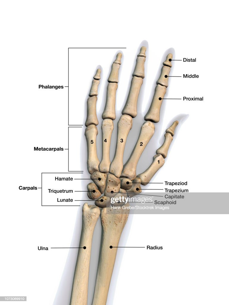 Bones Of The Human Hand With Labels Stock Illustration Getty Images
