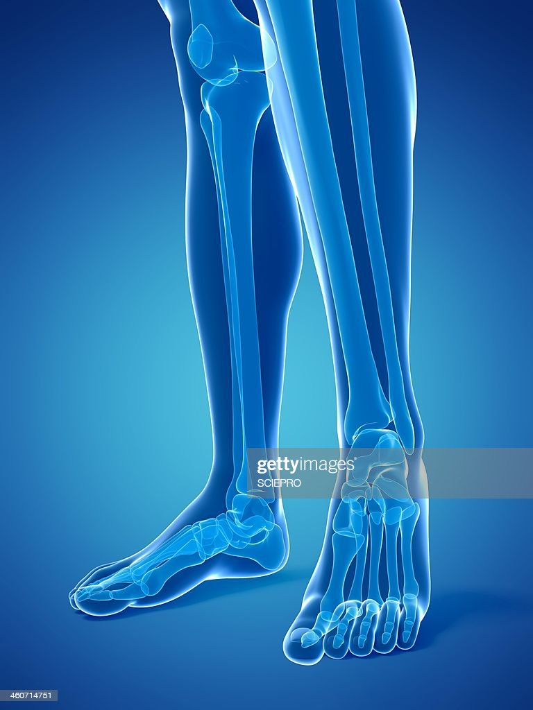 Bones Of The Lower Legs And Feet Artwork Stock Illustration | Getty ...