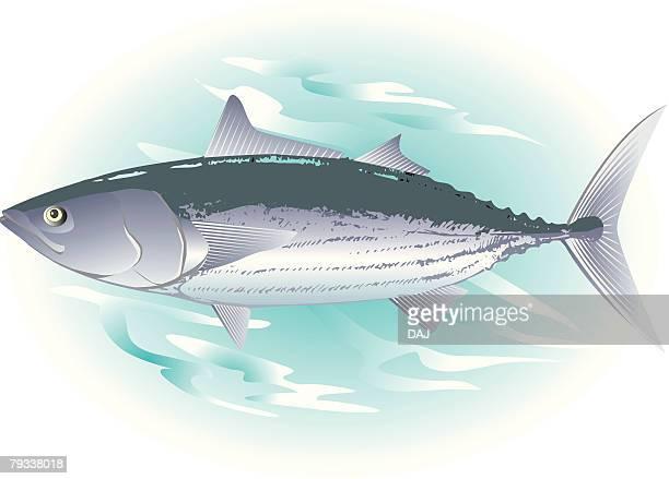 ilustraciones, imágenes clip art, dibujos animados e iconos de stock de bonito in water, side view - bonito del norte