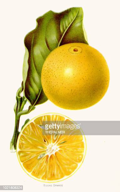 boone orange illustration 1892 - archival stock illustrations