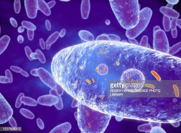 bordetella pertussis bacteria, illustration - respiratory disease stock illustrations