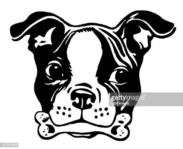 boston terrier - dog bone stock illustrations