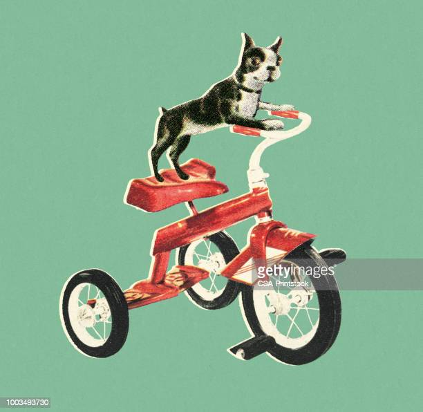 boston terrier riding a bike - boston terrier stock illustrations