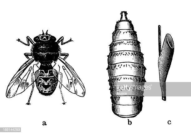 bot fly (oestrus ovis) - bot fly stock illustrations
