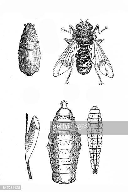 bot fly (oestrus ovis ,gasterophilus eqhi) - bot fly stock illustrations